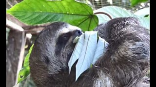 Sloth hangs by its feet to eat