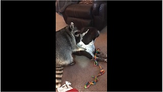 Best Friends Raccoon And Dog Enjoy Sweet Playtime