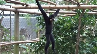 Cute Gibbons Enjoy Their New Home - Video