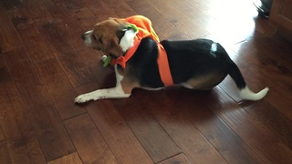 Beagle hates his pumpkin costume