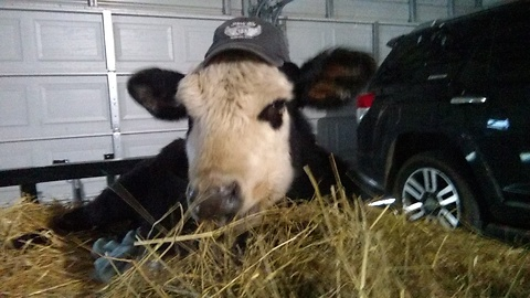 Rescued Cow Wears Hat To Dinner