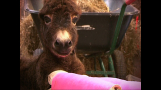 Premature Donkey Has Legs In Plaster Casts - Video