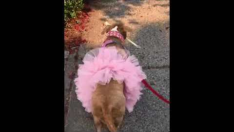 Pit Bull Ballerina Carries Bone Home