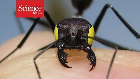 'Blindfolded' ants reveal clues to insect navigation