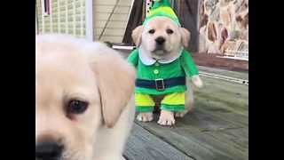 Cute Puppy Dressed as Elf Will Make Your Christmas - Video