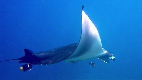 Scuba diver meets gigantic manta ray up close in Galapagos Ilands