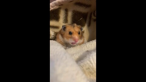 Funny Hamster - Cute and Funny Moments of Life