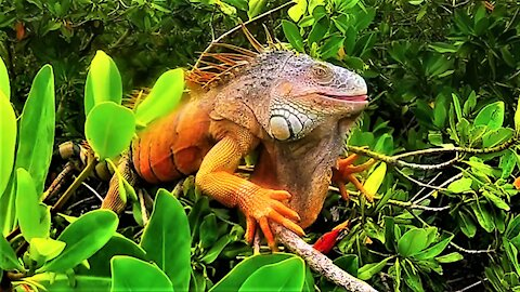 Gigantic iguana is king of the roost in Belize mangrove