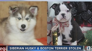 Two puppies stolen from Henderson pet store - Video