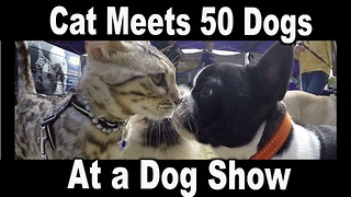 Friendly Kitty Meets 50 Dogs At A Dog Show - Video