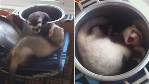 Ferrets play King of the Hill