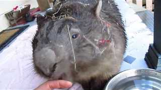 Timid Wombat Left Covered in Tinsel After Hiding From Storm - Video