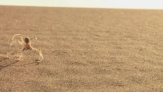 Cart-wheeling spider inspires robot for Mars