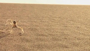 Cart-wheeling spider inspires robot for Mars - Video
