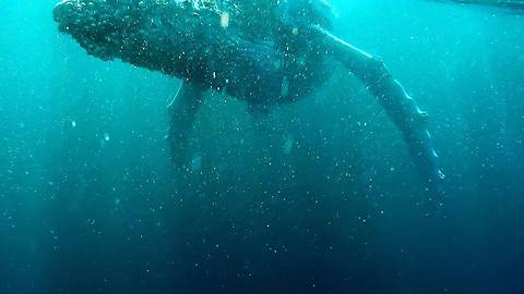 Underwater Footage Shows Majestic Whales at Australia's Gold Coast
