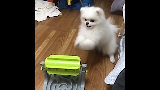 Pomeranian Gets Adorably Frustrated With Treat Puzzle Toy