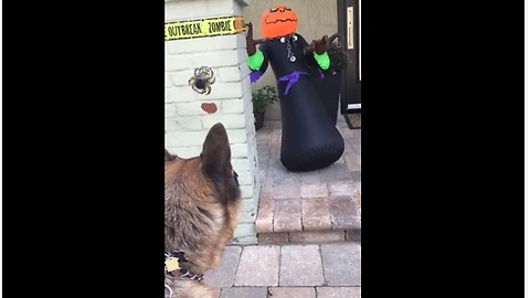 German Shepherd barks at scary Halloween decoration