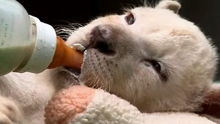 Baby White Lion Cubs - Video