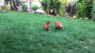 Dog Chases Chicken Around The Yard