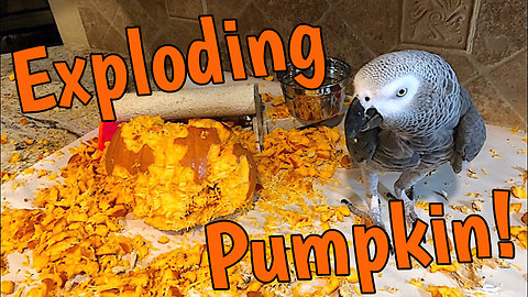 Time lapse captures parrot's demolition of pumpkin