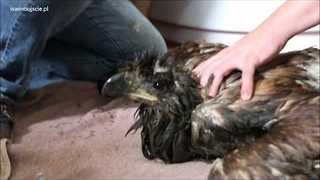 Eagle Washed and Fed After Dramatic Rescue in Poland - Video