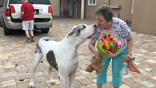 Max the Great Dane helps Grandma bring in Birthday Flowers