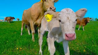 Mother cow's emotional show of gratitude after stranger helps her baby