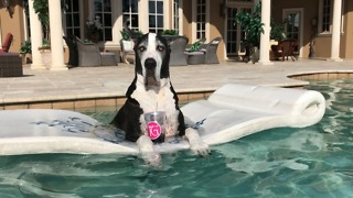 Cool Great Danes Love Dipping and Sipping in the Pool  - Video