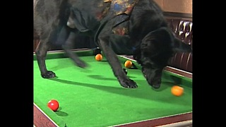 Dog Plays Pool - Video