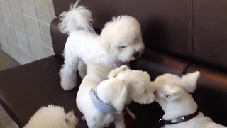 Responsible dog breaks up puppy fight - Video
