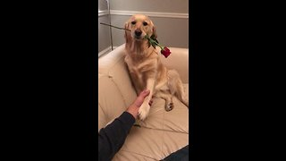 Golden Retriever adorably holds rose in mouth