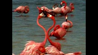 Pink Flamingos Go Dating - Video