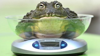Animal Weigh-In At London Zoo - Video