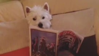 Informed Westie enjoys reading newspaper - Video