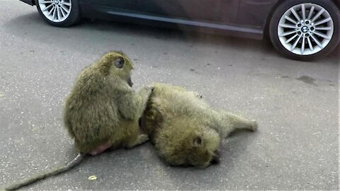 Baboons casually stop traffic to groom each other on the road