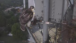 Red-tailed hawk takes leap off KJRH tower - Video