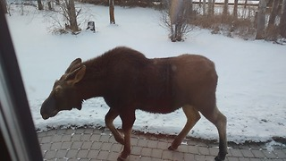 Wild moose walk right up to Canadian house! - Video