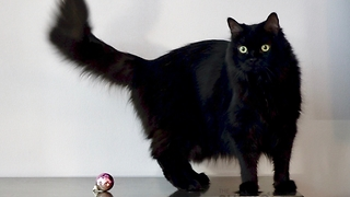 Here's Why Cat Owners Can't Decorate For Christmas - Video