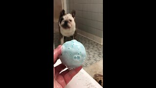 Furious Bulldog Hates Owner's Bath Bomb - Video