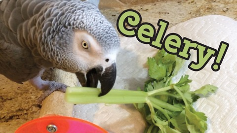 Einstein the Parrot encourages you to eat celery