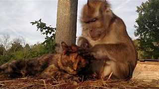 Monkey Inspects Cat For Fleas and Ticks - Video