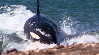 Killer Whale Attack: Orca Beaches Itself To Ambush Seals - Video