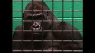 Gorilla Relocates To Find Love - Video