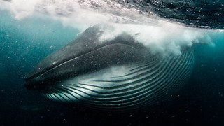Diver Is Nearly Swallowed By A Whale - Video