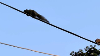 Two squirrels trying their luck on electrical cables, Thailand  - Video
