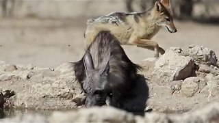 Hyena and Jackal Jostling at Waterhole - Video