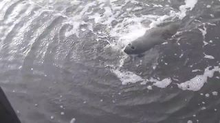 Wild manatee enjoys a belly scratch and drink - Video