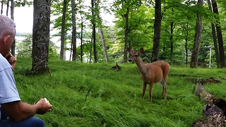 Wild Deer Comes Running From The Forest At The Sound Of Apple Crunching