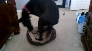 Great Dane sleeps in tiny Chihuahua bed - Video