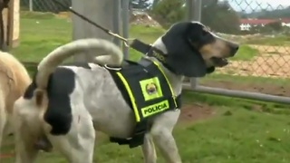 Dog seized from drug gang gets second chance - Video